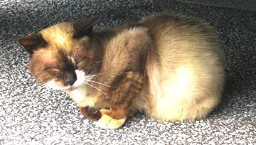 久高島フェリー乗り場の猫の小鉄